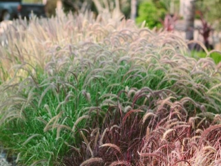 colored grasses