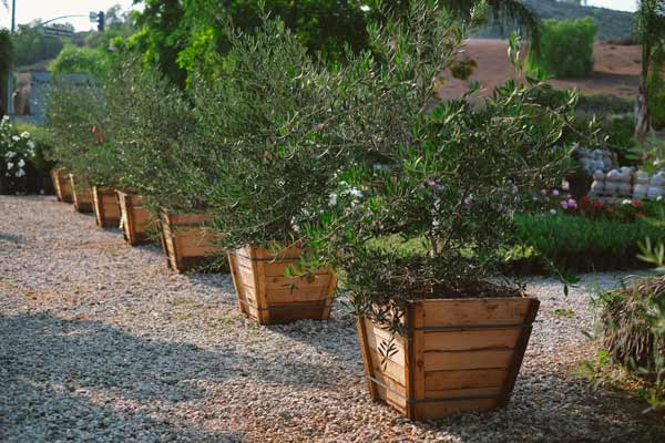 young olive trees in crates