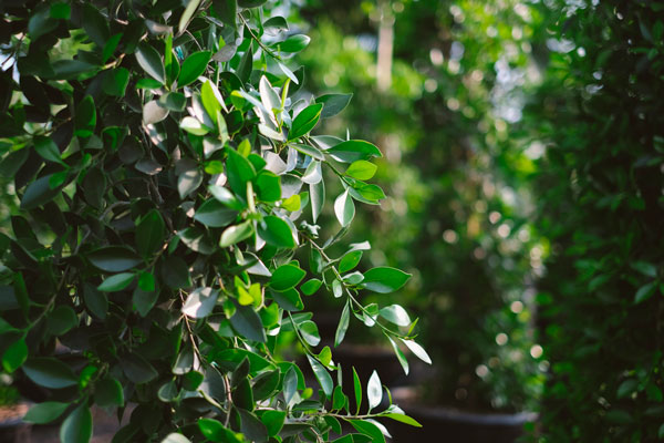 hedging plant material